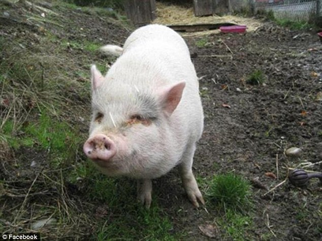 Molly, pictured, was one of 57 pigs Vietnamese pot-bellied pigs taking refugee at the Society for the Prevention of Cruelty to Animals (SPCA) in Duncan, BC. She was eaten