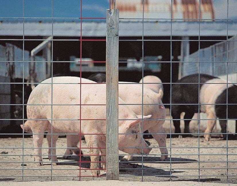 Hog Fencing - about raising pigs