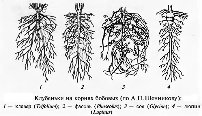 сорта, корневая система бобовых картинка выпускалась