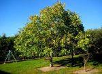 Грецкие орехи в подмосковье посадка и уход – выращивание и уход за растением в открытом грунте, лучшие сорта, фото