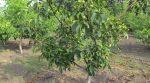 Пересадка грецкого ореха осенью на новое место – Пересадка грецкого ореха весной и осенью, правила и этапы