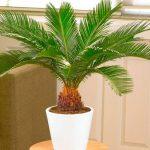 Растение цикас – Цикас уход в домашних условиях, фото, пересадка, размножение комнатного растения